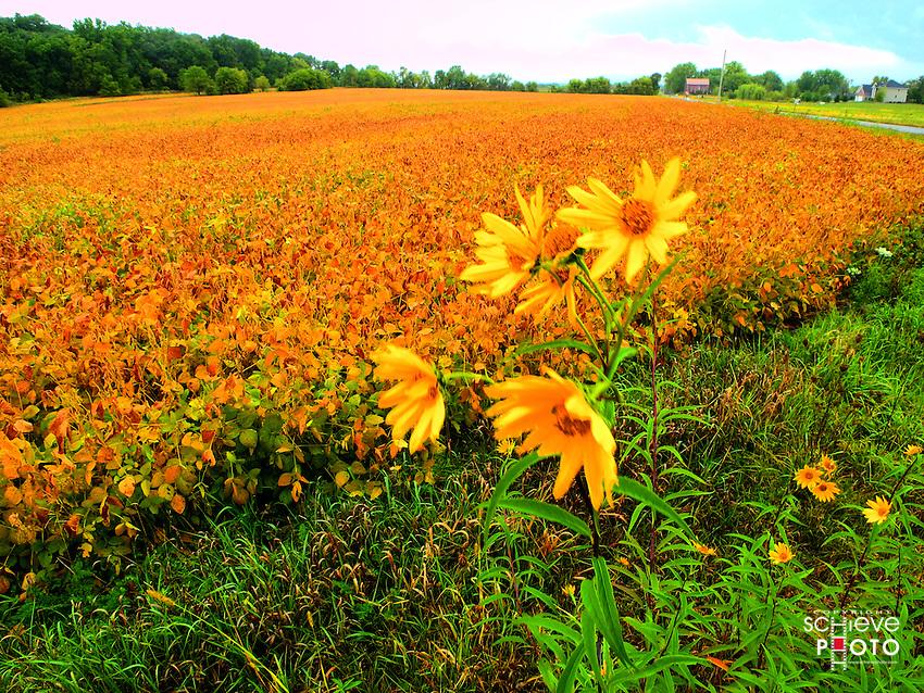 Yellow flowers near a soy bean field.