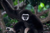 White-handed Gibbon or common gibbon (Hylobates lar), S.E. Asia.