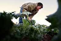 Ojai, California, October 19, 2010 - Micro-farmer John Fonteyn picks Russian kale during the weekly fall harvest at Rio Gozo Farm for his CSA, Community Supported Agriculture, members. The 4-acre farm is cultivated and managed by Fonteyn and his wife Elizabeth. While there are several farms in Ojai that operate CSAs, Fonteyn saw a need for nearby Ventura, where no such opportunity exists. Though farming is a fairly solitary profession, Fonteyn has made a point to include the community by selecting creative pickup destinations and by hosting seasonal parties at his farm so that his members can visit, meet one another and learn more about where their food comes from. Members can also volunteer to help harvest once a week in exchange for food and the knowledge of how to grow and harvest various vegetables. Fonteyn also reaches out into the community by donating his time and some of his harvest to organizations that help to promote shared ideas of sustainability, local sourcing, and organic farming and well as building a network of communities around these shared values. ..Community Supported Agriculture, CSA, is an idea began in the 1960's whereby a farmer offers 'shares' to the public in return for payment up front. Each week the farmer delivers what seasonal produce is harvested. There are many advantages to both the farmer and the consumer. Benefits to the farmer include: 1) He has time to market early in the season to build subscriptions, allowing for more time during farming seasons to focus on the long harvesting days; 2) He receives payment early in the season which helps with the cash flow for seeds, planting and other up front costs; and 3) It allows the farmer to grow a more varied crop, minimizing the economic effects of trends in produce.  Benefits to the consumer include: 1) Ultra-fresh, locally grown, often organic produce; 2) Exposure to new vegetables and new ways of cooking; 3) Opportunity to develop a relationship with the farmer who grows your food a