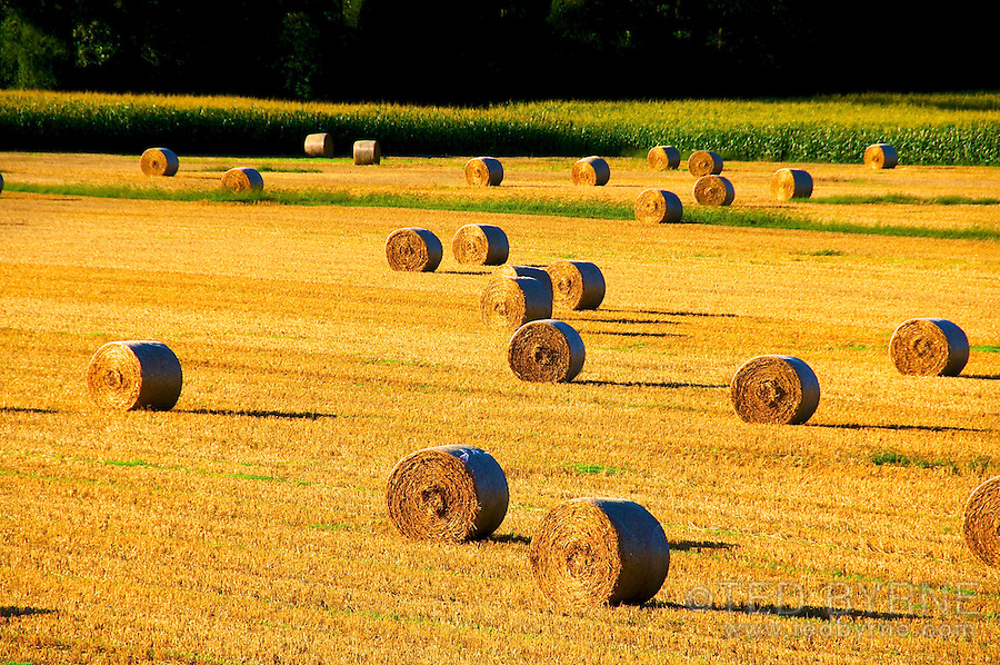 Field of recently harvested hay bales in golden sunset