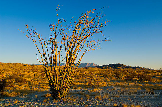 Ocotillo plant in morning light, Anza Borrego Desert State Park, San Diego County, California