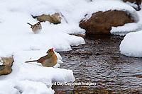 01530-21109 Northern Cardinal (Cardinalis cardinalis) female drinking in winter, Marion Co., IL