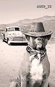 Samantha, ANIMALS, REALISTISCHE TIERE, ANIMALES REALISTICOS, funny, photos+++++Arizona Boxer master,AUKP35,#a#