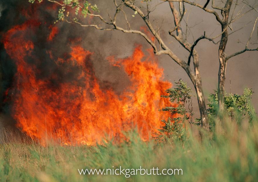 Bush fire raging in terai. Kaziranga National Park, Assam, India.