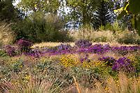 Prairie meadow garden lawn alternative in autumn with Black-eyed Susans, Asters, and Grasses; Scripter garden, Colorado; design Lauren Springer Ogden