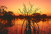 Red mangroves near Paurotis Pond<br />