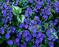 Vashon Island, WA           <br /> Detail of Omphalodes verna (blue-eyed Mary) and Lamium galeobdolon subsp. montanum (florentinum)
