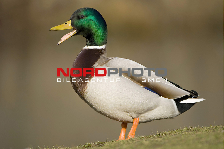 Stockente (Anas platyrhynchos), Erpel, Prachtkleid, Ente. <br /> Vogel, quakend, Schnabel, schnatten <br /> <br /> <br /> Foto: &copy; nordphoto