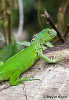 0625-1112  Young Green Iguana (Common Iguana), Belize, Iguana iguana  © David Kuhn/Dwight Kuhn Photography