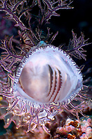A purple and white lacey scorpionfish (rhinopias aphanes) in a open mouth threat display, End bommie, Loloata, Bootless bay, Coral sea, Pacific ocean, Papua New Guinea, Asia