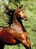 Head shot of Arabian stallion CAMELOT running. animals