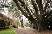 Old live oak trees (Quercus agrifolia) off the Northwest Terrace at Filoli Estate garden, Woodside California