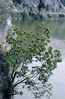 Östlicher Erdbeerbaum, Erdbeer-Baum, Arbutus andrachne, Cyprus Strawberry Tree, Grecian Strawberry Tree