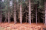 A87CJ6 Pine tree plantation and bracken Rendlesham forest Suffolk England