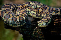 458034009 a captive carpet python moreilia spilotes variegata lays coiled on a large tree limb above a small pond - reptile is a captive animal