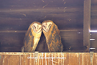 01110-00315 Common Barn-Owl (Tyto alba) two immatures on top of nest box Marion Co.   IL