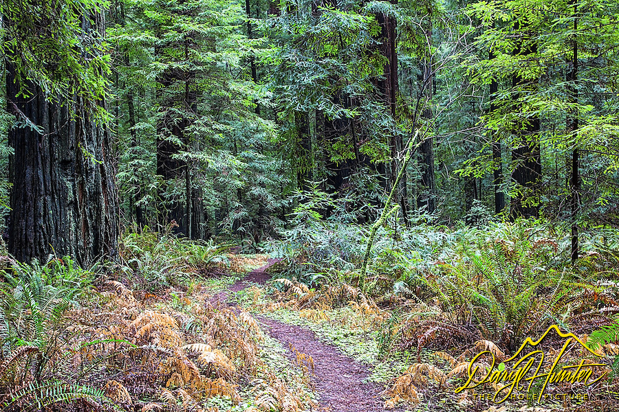 Forest path, Humboldt Redwoods State Park in Northern California's Humboldt County