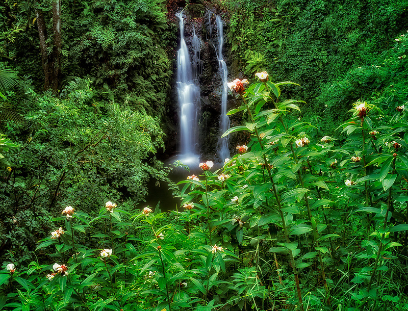 Small waterfall near Hana, Maui, Hawaii. White blooming flower is Crepe Ginger.