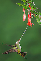 Sword-billed Hummingbird (Ensifera ensifera), female feeding from fuchsia flower,Papallacta, Ecuador, Andes, South America