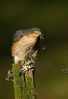Sparrowhawk Accipiter nisus, male plucking its prey on an old post covered in moss, Dumfries, Scotland, UK, February