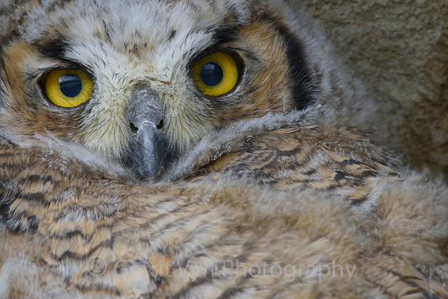 Recently fledged Great Horned Owl (Bubo virginianus) hiding in a cliff face. Sublette County, Wyoming. May.