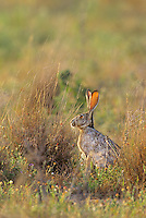 650228005 a wild black-tailed jackrabbit lepus californicus sits in wild grasses in a field in the lower rio grande valley of south texas united states
