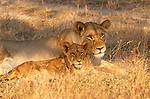 African lion and cub, Londolozi Reserve, South Africa