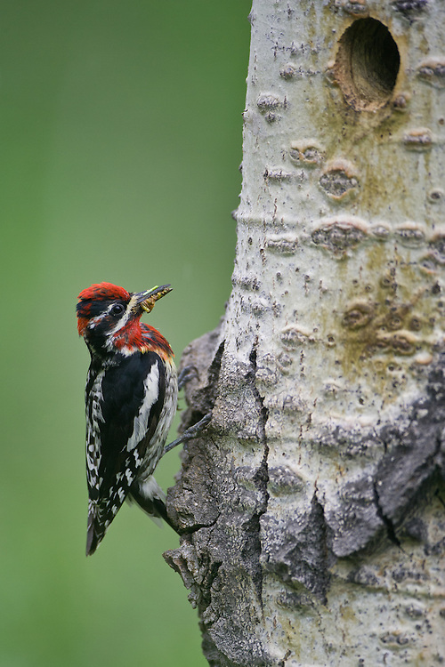 Red-naped Sapsucker bringing some food to the nest cavity