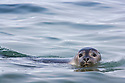 Ringed seal (Phoca hispida) swimming in ocean; Svalbard, Norway