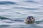 Ringed seal (Phoca hispida) swimming in ocean; Svalbard, Norway