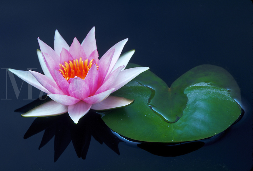 Pink water lily and heart-shaped leaf