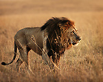 Lions - G