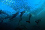 Bronze whalers and dolphins feediing on sardines, South Africa, Wild Coast, Sardine Run, dolphins, Sharks, sardine, gannets