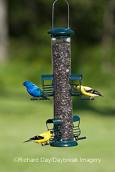 00585-03803 American Goldfinches (Carduelis tristis)  & Indigo Bunting (Passerina cyanea) on sunflower tube feeder, Marion Co., IL