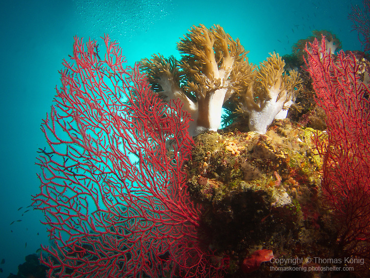 Apo Reef, Sulu Sea --Beautiful coral on a sea wall.