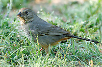 Canyon towhee adult eating insect
