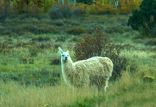 A llama appears out of place at the Kolob Terrace area near Zion National Park, Utah