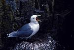 Kittiwake, Rissa tridactyla, adult  yawning, showing tongue, beak open, standing at nest on edge of cliff .