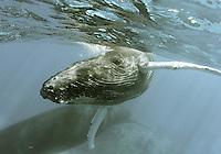 Humpback_Whales_Calf