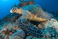 Hawksbill Sea Turtle (Eretmochelys imbricata) with a deformed shell or carapace in Juno Beach, Florida.