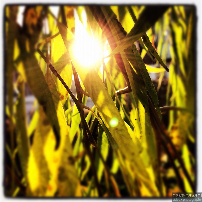 The sun bursts through the leaves of a willow tree in Holman Field in the Germantown section of Philadelphia on the morning of December 4, 2012.
