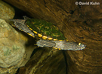 0215-1103  Ouachita Map Turtle Swimming Underwater (Sabine Map Turtle), Graptemys ouachitensis  © David Kuhn/Dwight Kuhn Photography