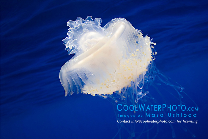 Crowned Jellyfish, Cephea cephea, an offshore, pelagic species, Order Rhizostomeae - Root-mouth Jellies, Family Cepheidae, off Kona Coast, Big Island, Hawaii, Pacific Ocean.