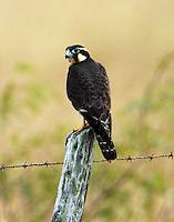 Aplomado falcon juvenile