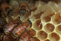 Bees on the wax cells fill their gobs with honey.