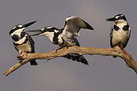 Pied kingfisher (Ceryle rudis), Zimanga Private Nature Reserve, KwaZulu Natal, South Africa