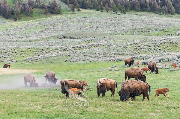 Bison herd (Bison bison).  Yellowstone National Park, Wyoming.  Spring.