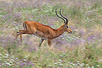 Impala (Aepyceros melampus) buck running through wildflowers, Tarangire National Park, Tanzania.  June.
