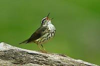 Louisiana Waterthrush - Seiurus motacilla