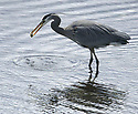 Great Blue Heron bird in the water eating a fish at Lions Park, Silverdale, WA. Stock photography, Olympic Photo Group